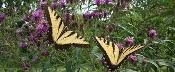 Organically grown New York Ironweed